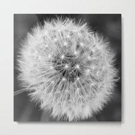Black and white dandelion head Metal Print
