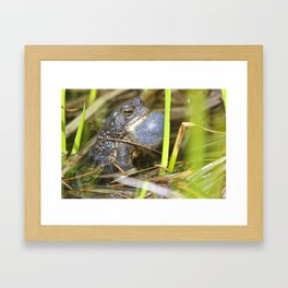 Toad with bulging throat Framed Art Print