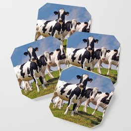 Young Holstein cows Coaster