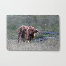 Highland Cow Scratching Itself Metal Print