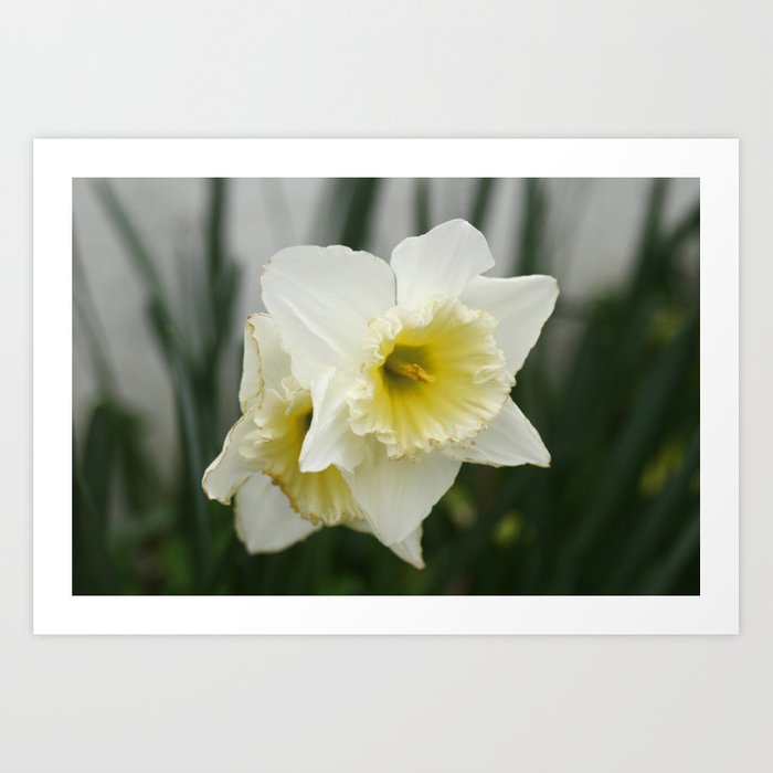White And Yellow Daffodils Early Spring Flowers Art Print By