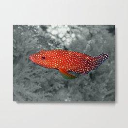 Red Coral Cod Metal Print