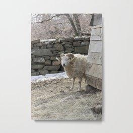 Ram in the Barnyard Metal Print