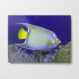 Queen Angelfish From Side Metal Print