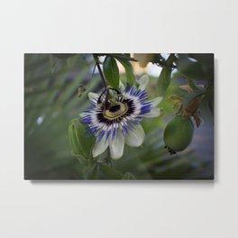 Passiflora caerulea Metal Print