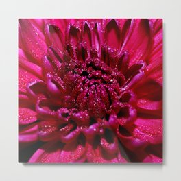 Blossom of red chrysanthemum with dew drops Metal Print