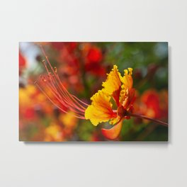 Fiery Mexican Bird of Paradise Flower Metal Print