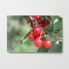 Red Cherries From Traverse City Metal Print