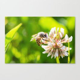 Bee Working on White Clover Flower Close Up Canvas Print