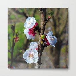 plums bloom in spring Metal Print