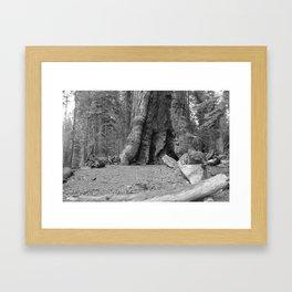 Sequoia Tree in Black & White Framed Art Print