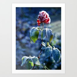 Frosted Rose Art Print