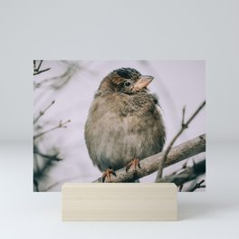 Female House Sparrow, Staying Warm Photograph Mini Art Print