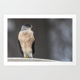 Red eyed Coopers Hawk Art Print