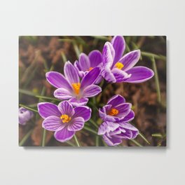 Beautiful lilac crocuses on a spring sunny day Metal Print