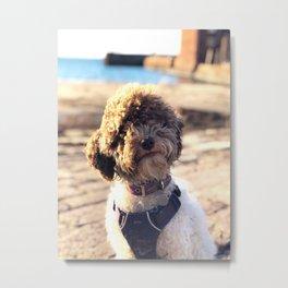 Curly Curious Dog in North Berwick Metal Print