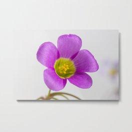 purple oxalis flower Metal Print