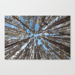 Yellowstone National Park - Lodgepole Forest Canvas Print