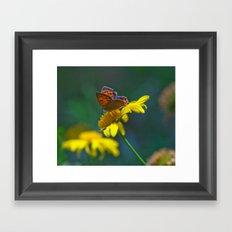 Butterfly on yellow flower - lycaena phloeas 3497 Framed Art Print