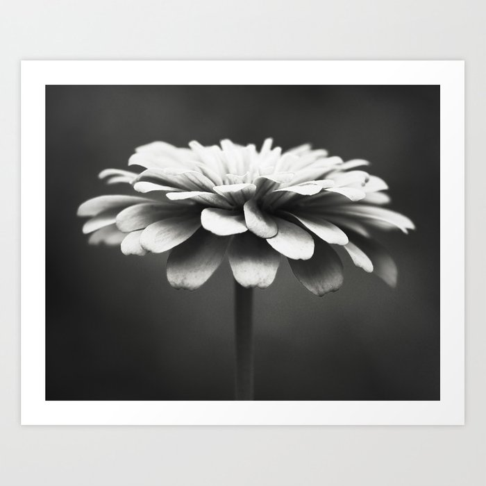 Black And White Flower Photography Zinnia Floral Photograph
