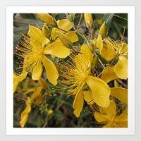 marc johns Art Prints featuring Beautiful St Johns Wort by Wendy Townrow
