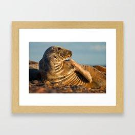 Grey seal (Halichoerus grypus) Framed Art Print