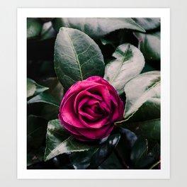 Purple Camellia Art Print