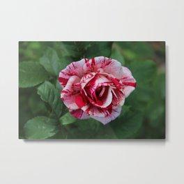 The Cherry Parfait Rose Metal Print