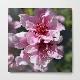 Peach Tree Blossom With Garden Background Metal Print