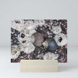 Periwinkles and Barnacles on a rock Mini Art Print