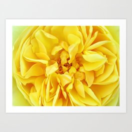 Macro Flower Photography ~ Sunny Yellow Rose with Petals & Stamens Art Print