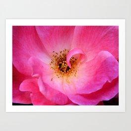 Pink Rose Photography Art Print