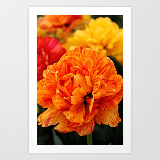 Open Tulip Art Print