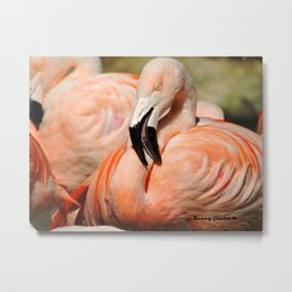 Chilean Flamingo Metal Print