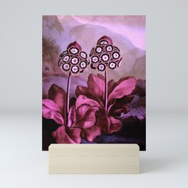 Dark Pink Auriculas : Temple of Flora Art Print Mini Art Print