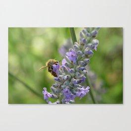 Honeybee on Lavender Canvas Print