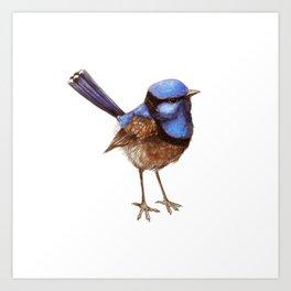 Russet Blue Wren on White Art Print