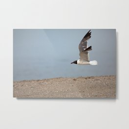 Laughing Gull in Flight Metal Print