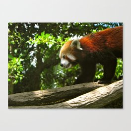 Red Panda. Canvas Print