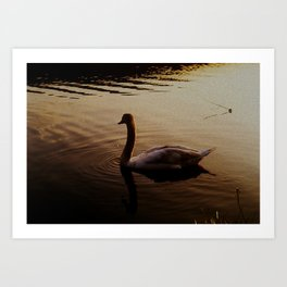 The Sundown Swan Art Print