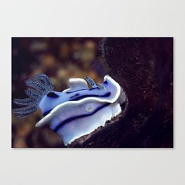 Chromodoris willani Canvas Print