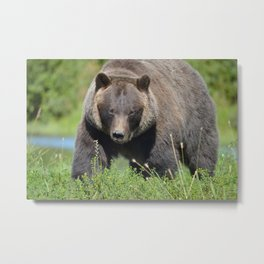 Brown Bear - Alaska Metal Print