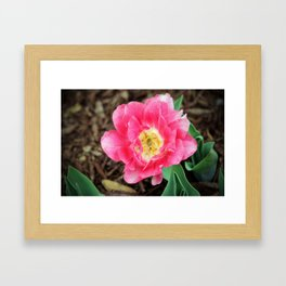 Pink Double Tulip Framed Art Print