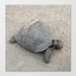 Tortoise on the Galapagos Canvas Print