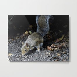 Squirrel Forage Metal Print