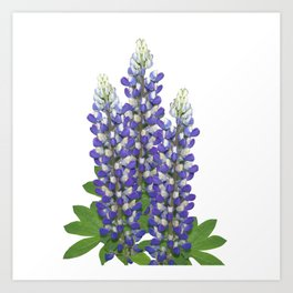 Blue and white lupine flowers Art Print