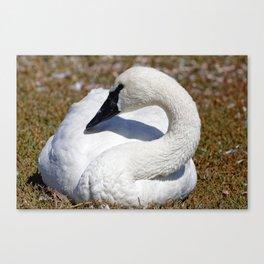 Popular Trumpeter Swan | Wildlife Photography | Birds Canvas Print