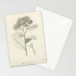 Vintage Scientific Print - 1824 - Birch-Leaf Spirea Stationery Cards