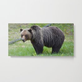 Grizzly encounter in Jasper National Park Metal Print