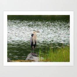 Great Blue Heron - Standing Stately Art Print